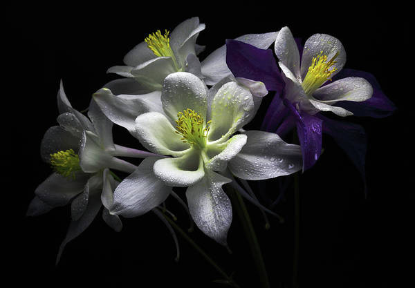 Wall Art - Photograph - Columbine Flowers by Flower Photography By Viorica Maghetiu