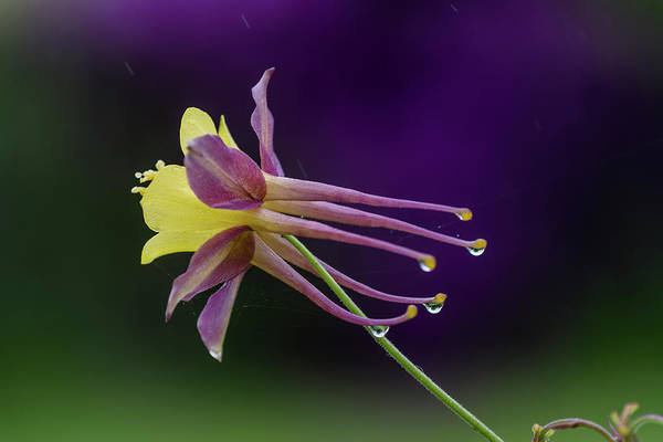 Photograph - Columbine In The Rain by Robert Potts