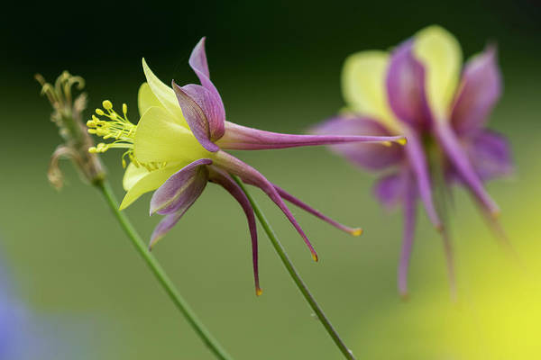 Photograph - Columbine Spurs by Robert Potts