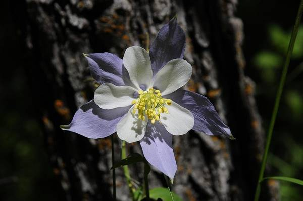 Photograph - Columbine by Susie Rieple
