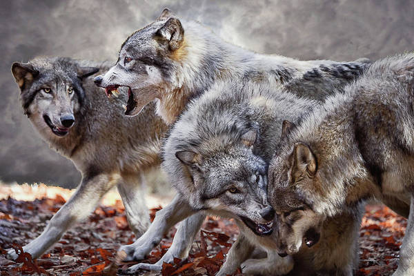 Timberwolves Photograph - Coming Storm by Jeannee Gannuch