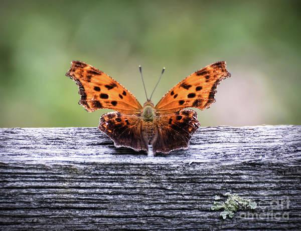 Photograph - Comma Butterfly by Kerri Farley