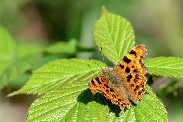 Photograph - Comma Butterfly Sitting On A Leaf by Scott Lyons