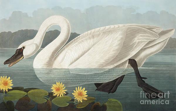 Cygnet Wall Art - Painting - Common American Swan, Cygnus Americanus By Audubon by John James Audubon