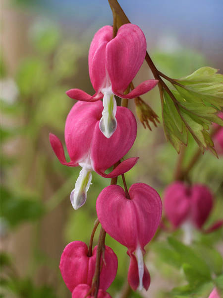 Wall Art - Photograph - Common Bleeding Hearts, North America by Tim Fitzharris