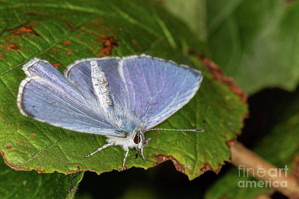 Photograph - Common Blue Butterfly by Brian Roscorla