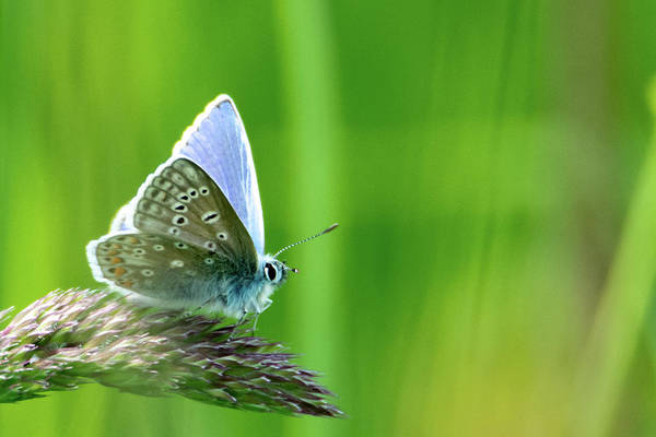 Photograph - Common Blue Butterly by Scott Lyons