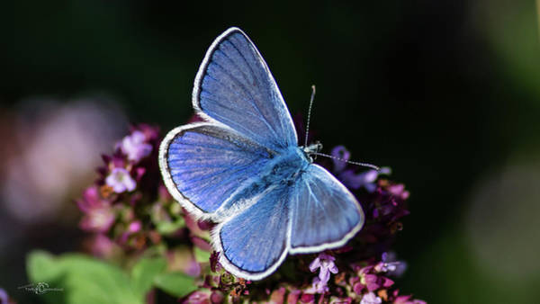 Photograph - Common Blue Like The Oregano by Torbjorn Swenelius