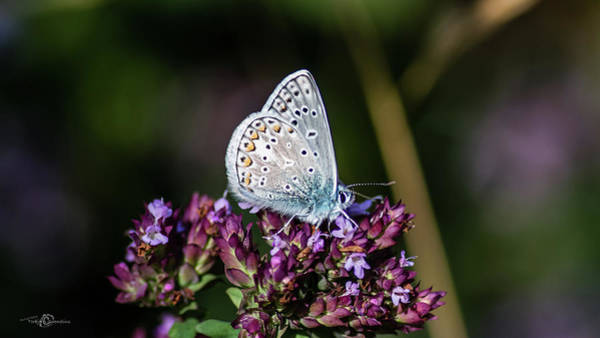 Photograph - Common Blue Showing The Underside While Perching On The Oregano by Torbjorn Swenelius