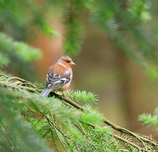 Wall Art - Photograph - Common Chaffinch Fringilla Coelebs by Louise Heusinkveld