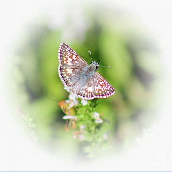 Photograph - Common Checkered Skipper Butterfly  by Karen Adams