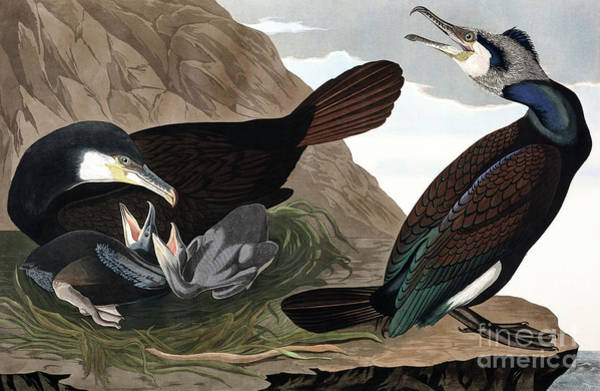 Cormorant Wall Art - Painting - Common Cormorant, Phalacrocorax Carbo By Audubon by John James Audubon