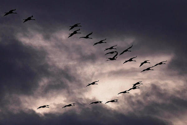 Wall Art - Photograph - Common Cranes Grus Gruse In Formation Flying In Front Of Dark Cloudy Skies Zingst Western Pomerania by imageBROKER - Harry Laub