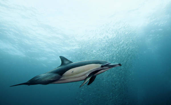 Bait Ball Photograph - Common Dolphin by Dmitry Miroshnikov