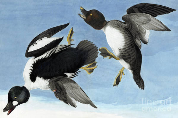 Wall Art - Painting - Common Goldeneye By Audubon by John James Audubon