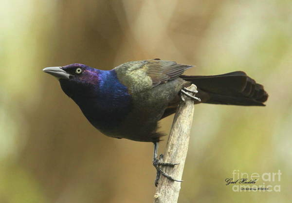Wall Art - Photograph - Common Grackle 046 by Gail Huddle