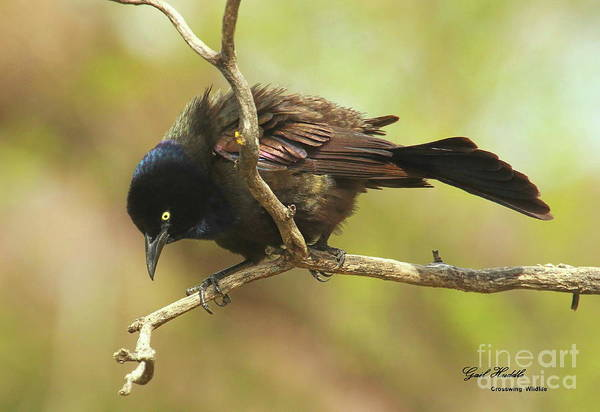 Wall Art - Photograph - Common Grackle 048 by Gail Huddle