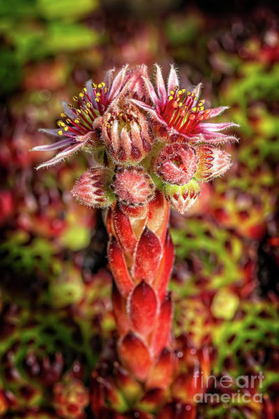 Photograph - Common Houseleek by Adrian Evans