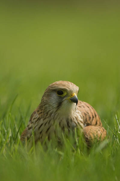 Cock Photograph - Common Kestrel,falco Tinnunculus by Lewis Phillips