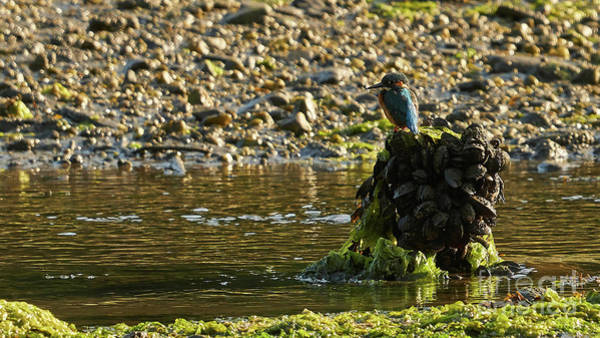 Photograph - Common Kingfisher Alcedo Atthis Perched On Mussels Pile by Pablo Avanzini