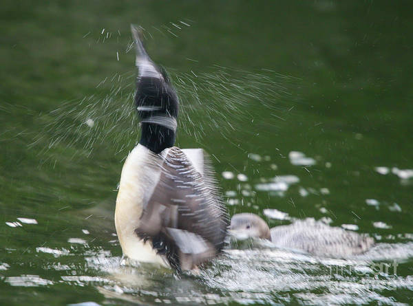 Photograph - Common Loon Shaking Off Water by Kevin McCarthy
