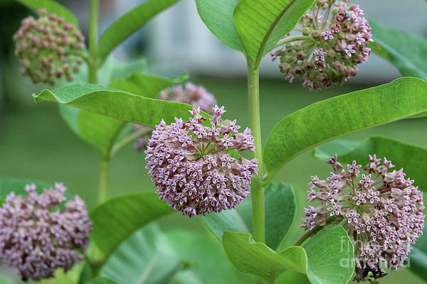 Photograph - Common Milkweed by Karen Adams