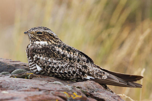 Wall Art - Photograph - Common Nighthawk, Daytime Roost by Ken Archer