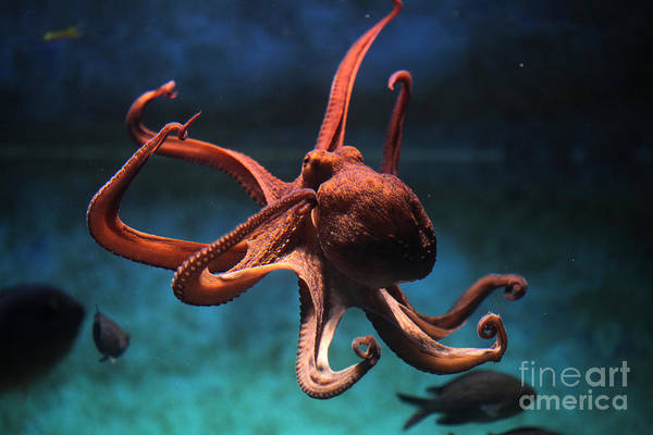 Swim Wall Art - Photograph - Common Octopus Octopus Vulgaris by Vladimir Wrangel