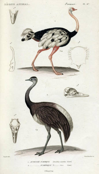 Rhea Painting - Common Ostrich by Georges Cuvier
