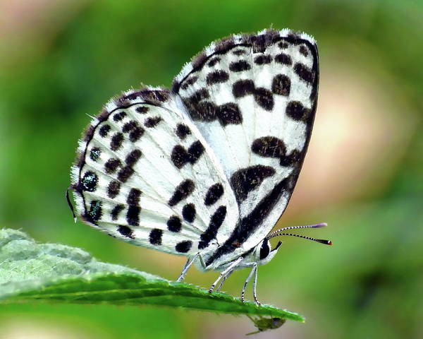 Photograph - Common Pierrot Butterfly by Anthony Dezenzio
