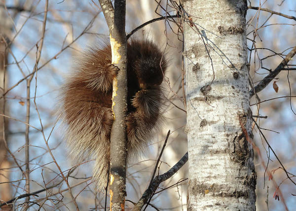 Photograph - Common Porcupine by Susan Rissi Tregoning