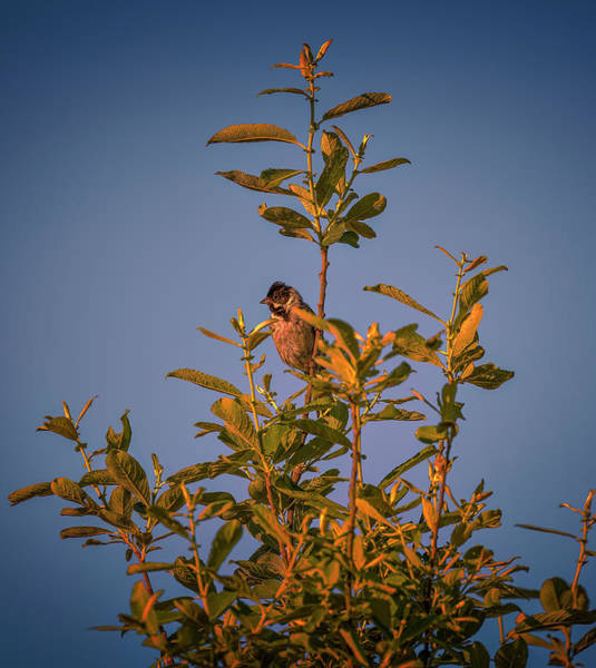 Photograph - Common Reed Bunting #i8 by Leif Sohlman
