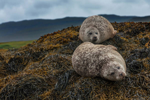 Seaweed Photograph - Common Seals, Loch Dunvegan, Isle Of by Diane Macdonald