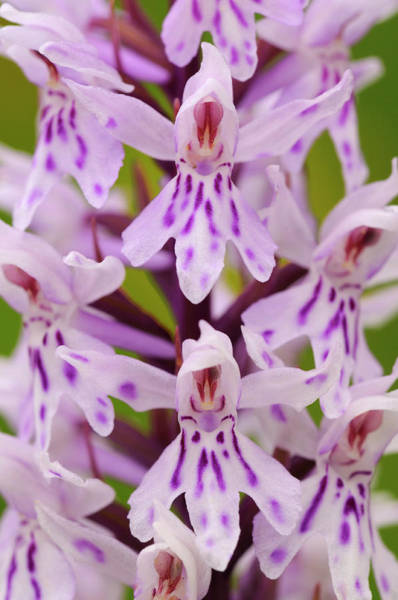 Wall Art - Photograph - Common Spotted Orchid Flower, Cotswolds, Uk by Ross Hoddinott / Naturepl.com