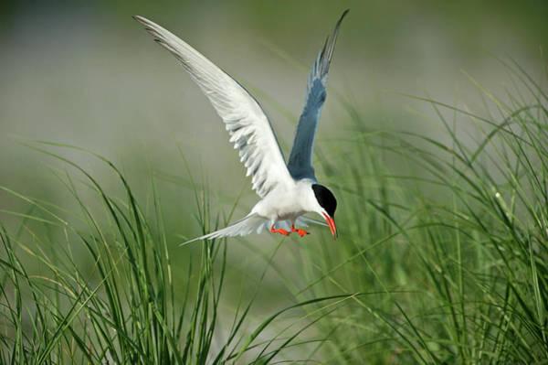 Wall Art - Photograph - Common Tern Landing by Johann  Schumacher
