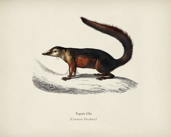 African Penguin Painting - Common Treeshrew  Tupaia Glis Illustrated By Charles Dessalines D' Orbigny  1806-1876  by Celestial Images