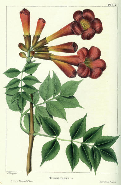 Drawing - Common Trumpet Flower by Unknown