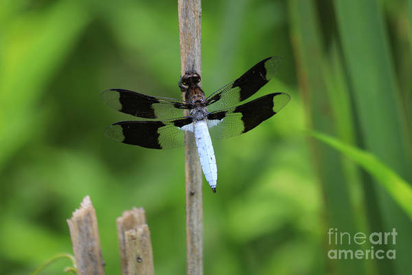 Photograph - Common Whitetail Or Long-tailed Skimmer by Paula Guttilla