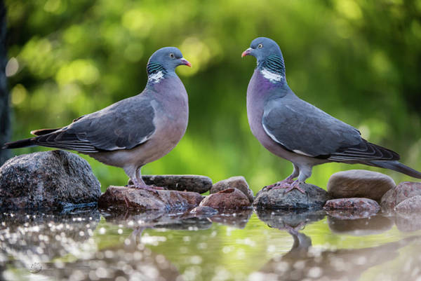 Wall Art - Photograph - Common Wood Pigeons Meeting At The Waterhole by Torbjorn Swenelius