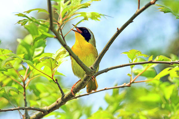 Wall Art - Photograph - Common Yellowthroat Singing His Little Heart Out by Geraldine Scull