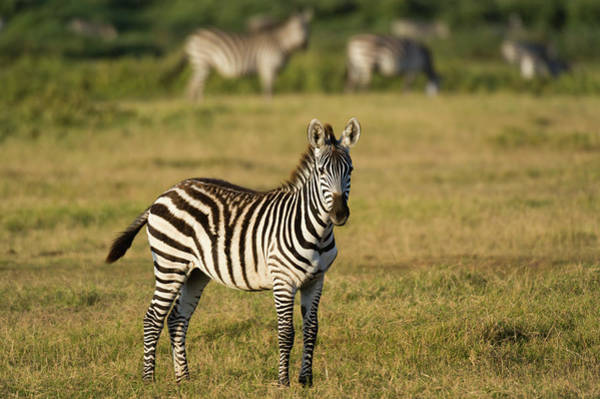 Amboseli Wall Art - Photograph - Common Zebra , Amboseli National Park by Sergio Pitamitz