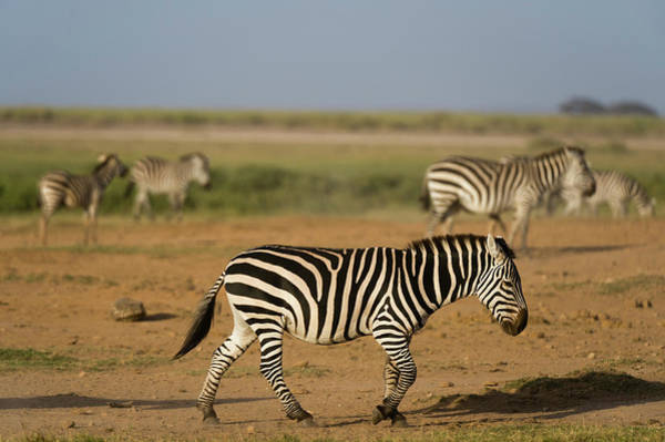 Amboseli Wall Art - Photograph - Common Zebras , Amboseli National Park by Sergio Pitamitz
