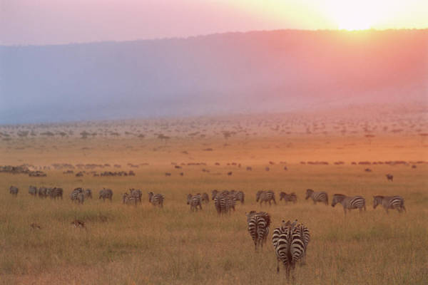Escarpment Photograph - Common Zebras And Wildebeest At Sunset by James Warwick