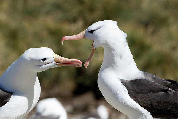Wall Art - Photograph - Communicating Black-browed Albatross by Tom Norring