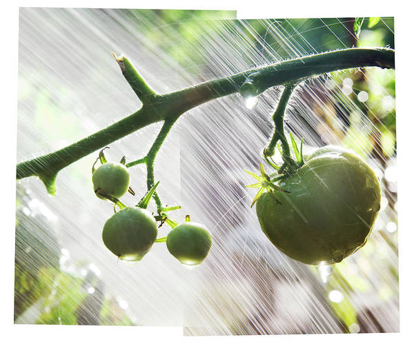 Vegetable Garden Photograph - Composite Photo Of Watering Green by Andrew Kolb