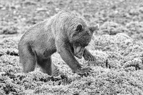 Photograph - Concentrating Coastal Brown Bear In Monochrome by Mark Hunter