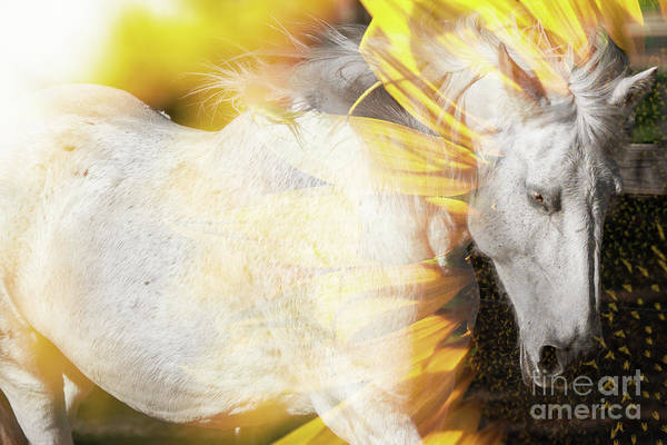 Photograph - Concept - Australian Horse With A Sunflower. by Rob D Imagery