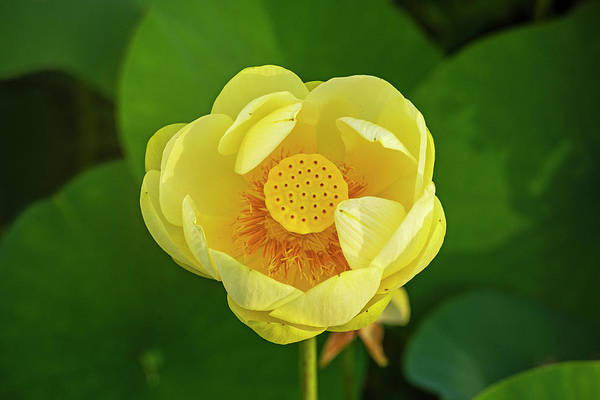 Photograph - Concord Ma Great Meadow Lotus Flower Detail by Toby McGuire