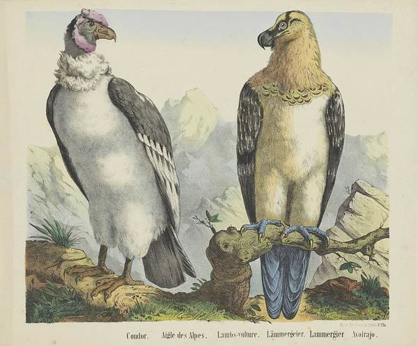 Wall Art - Painting - Condor  Firma Jos. Scholz, 1829  1880 by Celestial Images