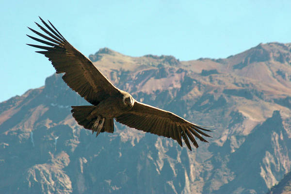 Condor In Flight Art Print